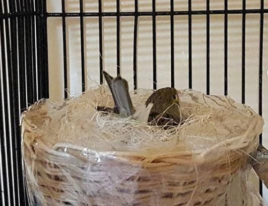 Perawatan Burung Kenari