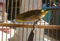 Jenis Burung Pleci Mata Putih