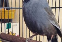 Jenis burung poksay hongkong