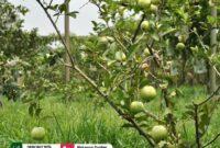 Wisata taman buah mekar sari