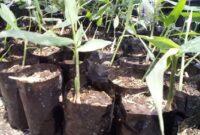 cara menanam jahe merah polybag
