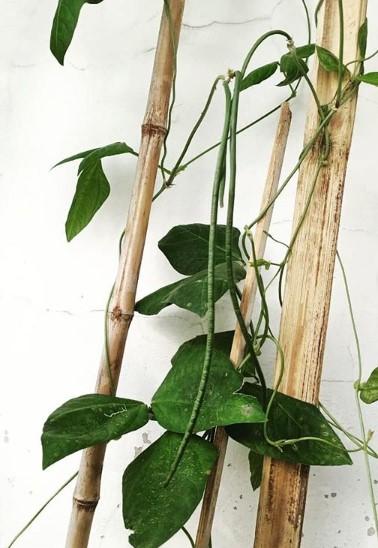 Manfaat Sayuran Hijau kacang panjang