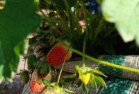 Cara Menanam Strawberry