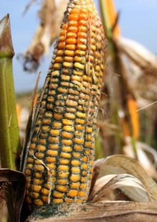 hama tanaman jagung