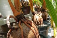 Panduan Membuat Bonsai Kelapa Bercabang dalam Pot
