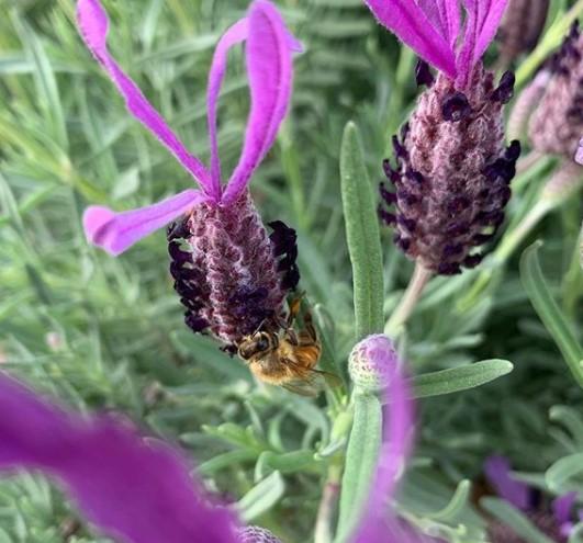 Tanaman pengusir nyamuk Lavender