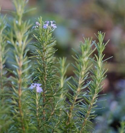 tanaman pengusir nyamuk Rosemary