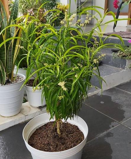tanaman pengusir nyamuk bunga Zodia