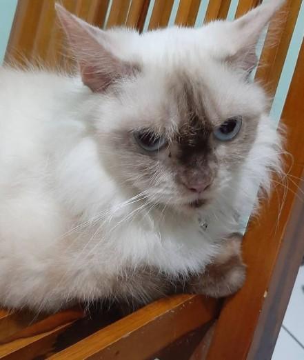 mengatasi Bulu Kucing Rontok