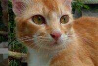 kucing warnah kuning